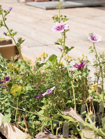 """""""Umtopfen im Kopf"""" – Wie wir alle tatsächlich mehr für Wildbienen und Insekten tun können (Teil 1) – was Regio-Saaten sind, welche Wildblumen wir pflanzen können und welche Heilwirkungen diese haben"""